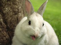 Rabbit Sticking out his Tongue Stock Photo