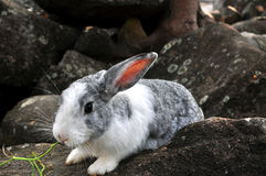 Rabbit on the stone in Thailand Royalty Free Stock Image