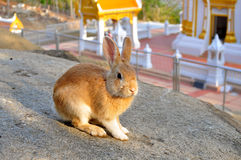 Rabbit on the stone in Thailand Stock Images