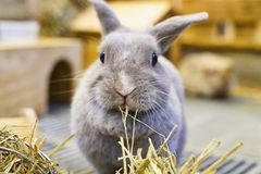 Rabbit stopped chewing to pose for a shot. This photo was taken in Rabbito` cafe at Bangkok, Thailand. The rabbit was chewing its hay busily and posed for a Royalty Free Stock Photography