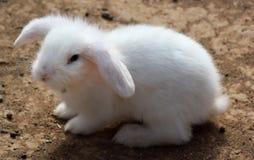 Rabbit. With strange ears staring Stock Image