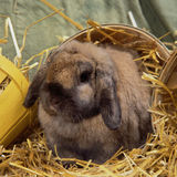Rabbit in the straw Royalty Free Stock Image