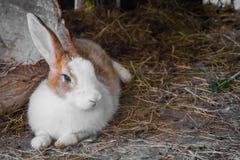 Rabbit on the straw. Stock Photo