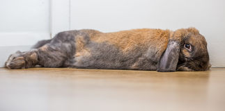 Rabbit stretched out. Long eared rabbit strectched out lying down Stock Photos