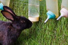Rabbit sucking water Royalty Free Stock Photos