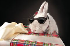 Rabbit in sun glasses climbing up gift box Stock Photos