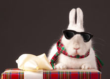 Rabbit in sun glasses is on gift box Royalty Free Stock Images