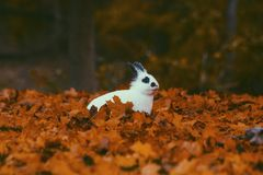 Rabbit Surrounded With Maple Leaf Royalty Free Stock Photography