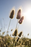 Rabbit Tails and sun flare Stock Images