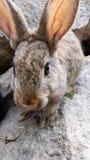 Rabbit terrestrial animal Royalty Free Stock Photos