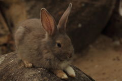 Rabbit. Thailand native bunny rabbit is fed by the common folk. It is unclear whether any of the species. Many colors are found stock image