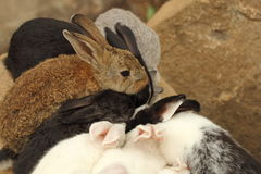 Rabbit. Thailand native bunny rabbit is fed by the common folk. It is unclear whether any of the species. Many colors are found stock photo
