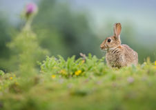 Rabbit and a thistle Royalty Free Stock Photography