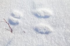 Rabbit Tracks Royalty Free Stock Image