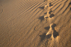 Rabbit tracks in the sand Royalty Free Stock Photo