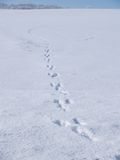 Winter rabbit tracks Royalty Free Stock Image