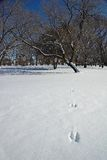 Rabbit Tracks in the Snow. Leading to a Tree royalty free stock photography