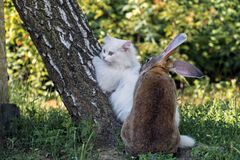 White cat and a loving rabbit. Rabbit tries to commit incest stock photo