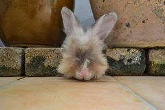 Rabbit trying to hide in between bricks and flower pots. White angora rabbit hiding in between bricks and flower pots Royalty Free Stock Images