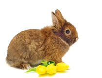 Rabbit with tulips Stock Image