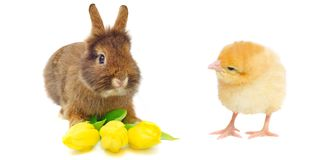 Rabbit with tulips and yellow chicken Royalty Free Stock Photos