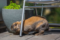 Rabbit under chair. Long eared rabbit under chair outdoors Royalty Free Stock Photos
