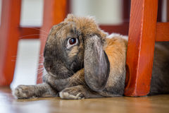 Rabbit under chairs. Long eared rabbit under chair legs Stock Image