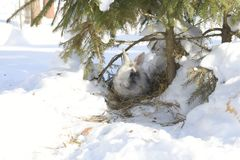 Rabbit under the tree. Green spruce. Grey rabbit. White snow. Winter. Rabbit lives in a hole Stock Photography