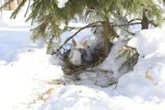 Rabbit under the tree. Green spruce. Grey rabbit. White snow. Winter. Rabbit lives in a hole Royalty Free Stock Photos
