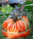 Rabbit on vegetable marrow 2 Stock Image