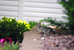 Rabbit Venturing Out. Bunny rabbit venturing out of the bushes into sunlight Stock Photos