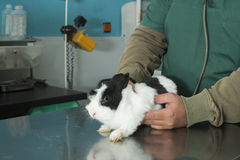 Rabbit in a veterinary office Stock Photography