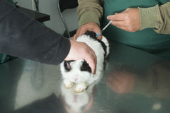 Rabbit in a veterinary office Stock Image