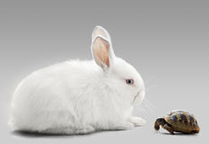 Rabbit vs turtle Stock Images