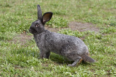 Rabbit on a walk. Black bunny on a walk Royalty Free Stock Photo