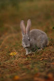 Rabbit on a walk in the woods Stock Photography