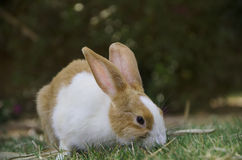 A rabbit walking on the grass. In the garden Royalty Free Stock Images