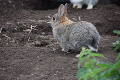 Rabbit walking on the ground Stock Photography