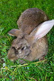 Rabbit. Walks on a green meadow Royalty Free Stock Photography