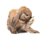 Rabbit washes. Royalty Free Stock Photo