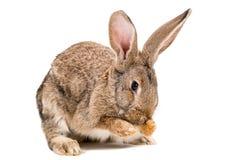 Rabbit washes his face. Sitting isolated on white background Royalty Free Stock Photo