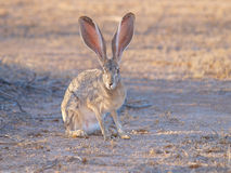 Rabbit Watching Royalty Free Stock Photos