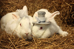 Rabbit wedding. Two rabbits dressed for a wedding Stock Photography