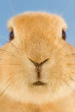 Rabbit whiskers close up Royalty Free Stock Photo