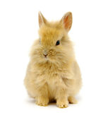 Rabbit  on white Stock Images