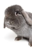 Rabbit on white. Rabbit leaning over and looking into camera. female holland lops rabbit, focus on eye