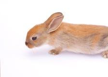 Rabbit on white. Rad fluffy sweet rabbit on white background Stock Photography