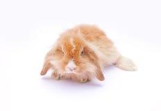 Rabbit on white. Rad fluffy sweet rabbit on white background Stock Photo