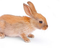 Rabbit on white. Background whiskers, closeup background Stock Image