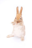 Rabbit on white. Background whiskers, closeup background Royalty Free Stock Image